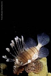 Lionfish taken at night in Sharem el sheik Egypt. by Dan Ashkenasi 